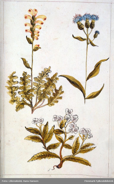 plansje med flere planter. Øverst til venstre kongsspir, til høyre en tistelart som ikke er sikkert artsbestemt. Nederst en ukjent plante med hvite blomster