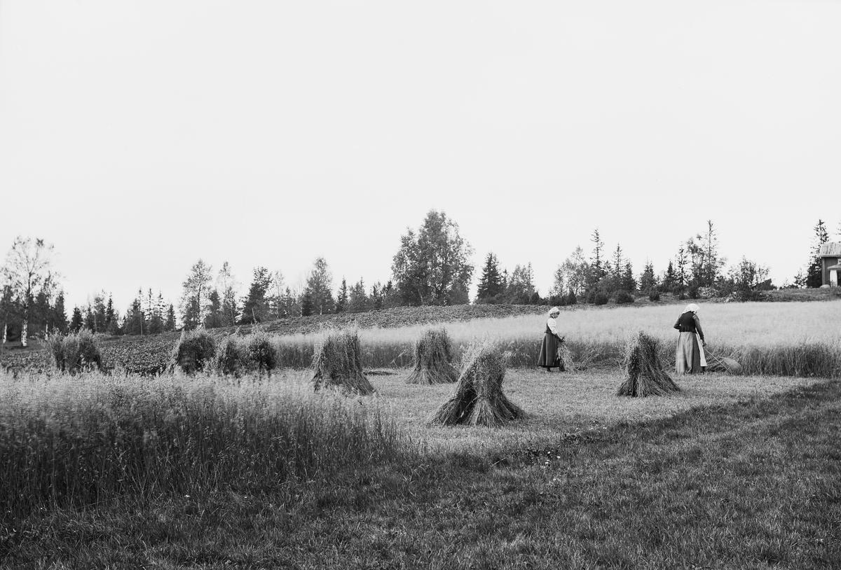 Skörd av havre i Bjurbäcken, Mangskogs socken, Jösse härad i Värmland.