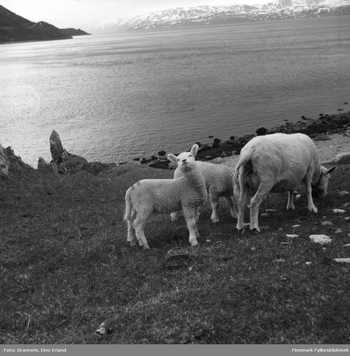 Noen sauer beiter i strandkanten nær fjæra. Stedet er ukjent, men kan være i nærheten av Kvalsund.