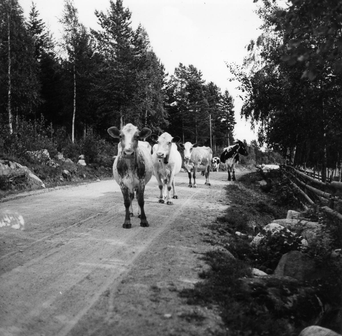 Sörby, Järvsö socken. Kor på skogsväg.