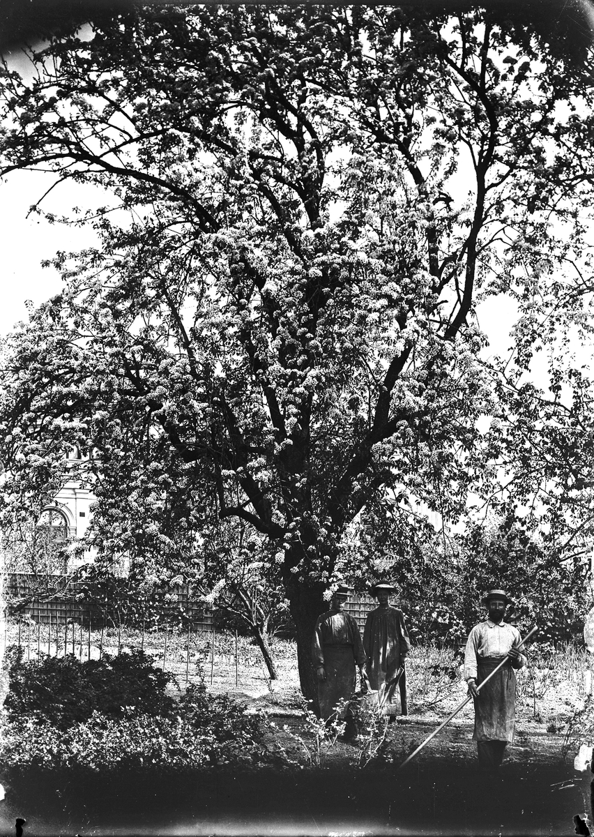 Trädgårdsarbete. Bild från släkten Hallströms bildsamling.