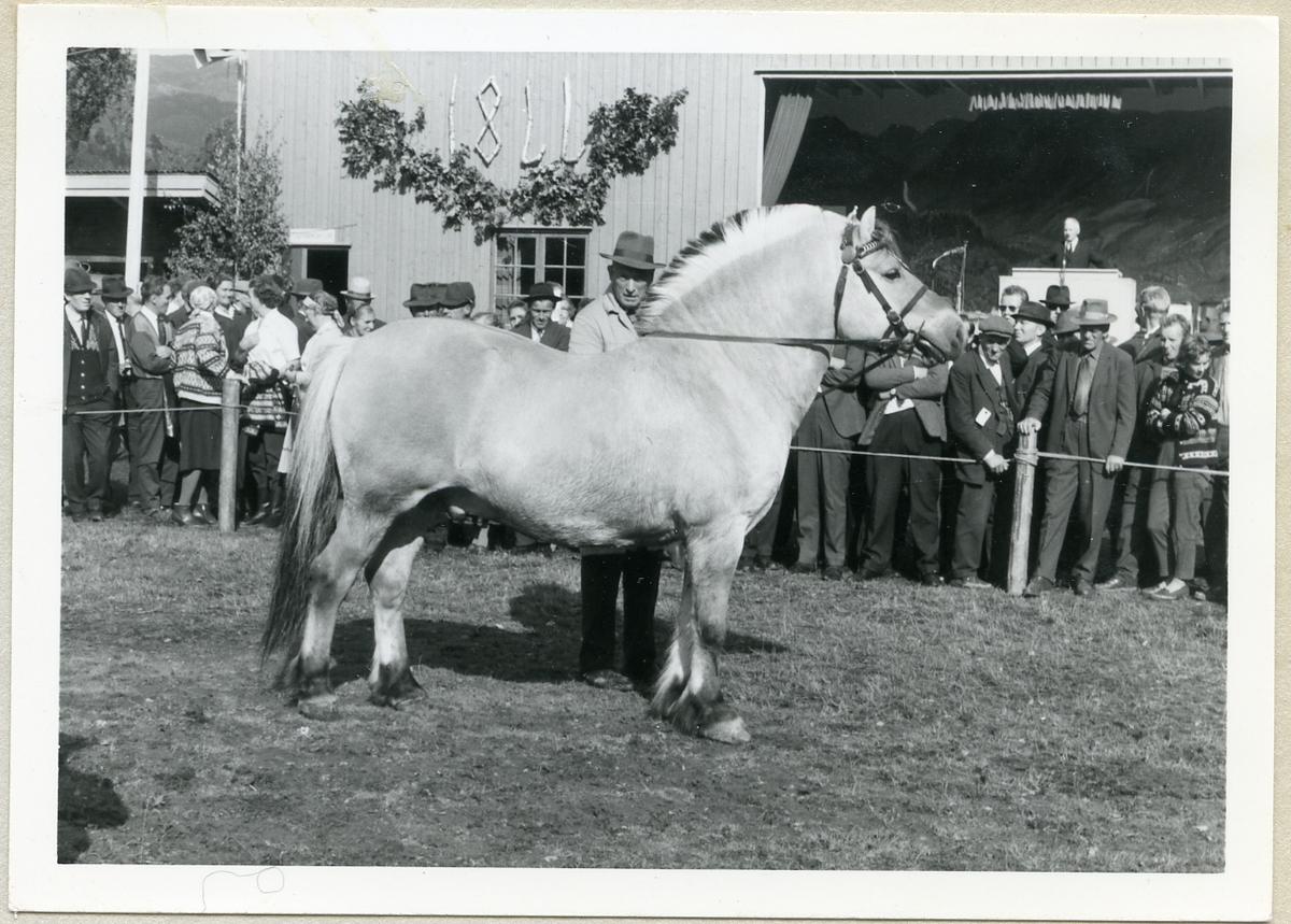 Hesten Heggtind 1611 på Dyrsku'n i 1966.