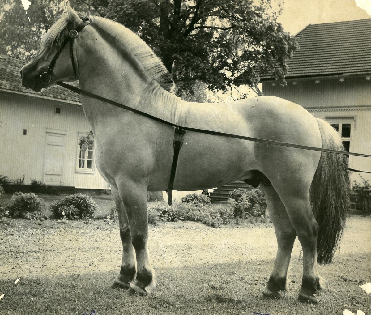 Engeseten 1777 frå Telemark Hesteavlslag.