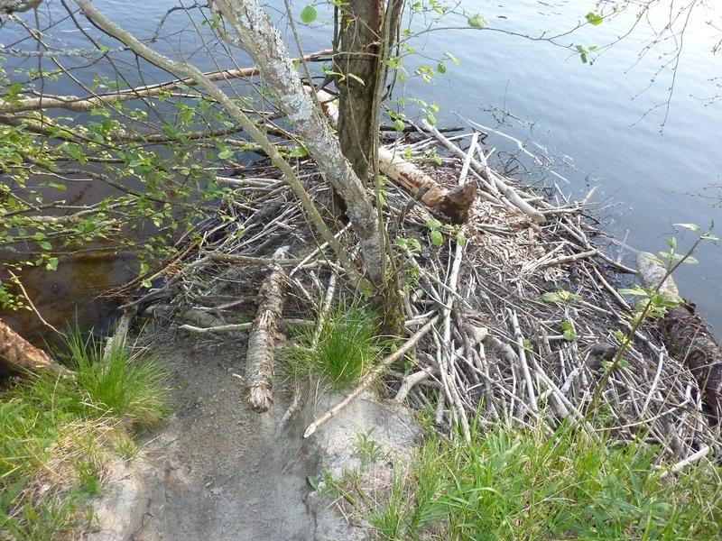 Foto av beverhytte langs Jørholmen (Foto/Photo)