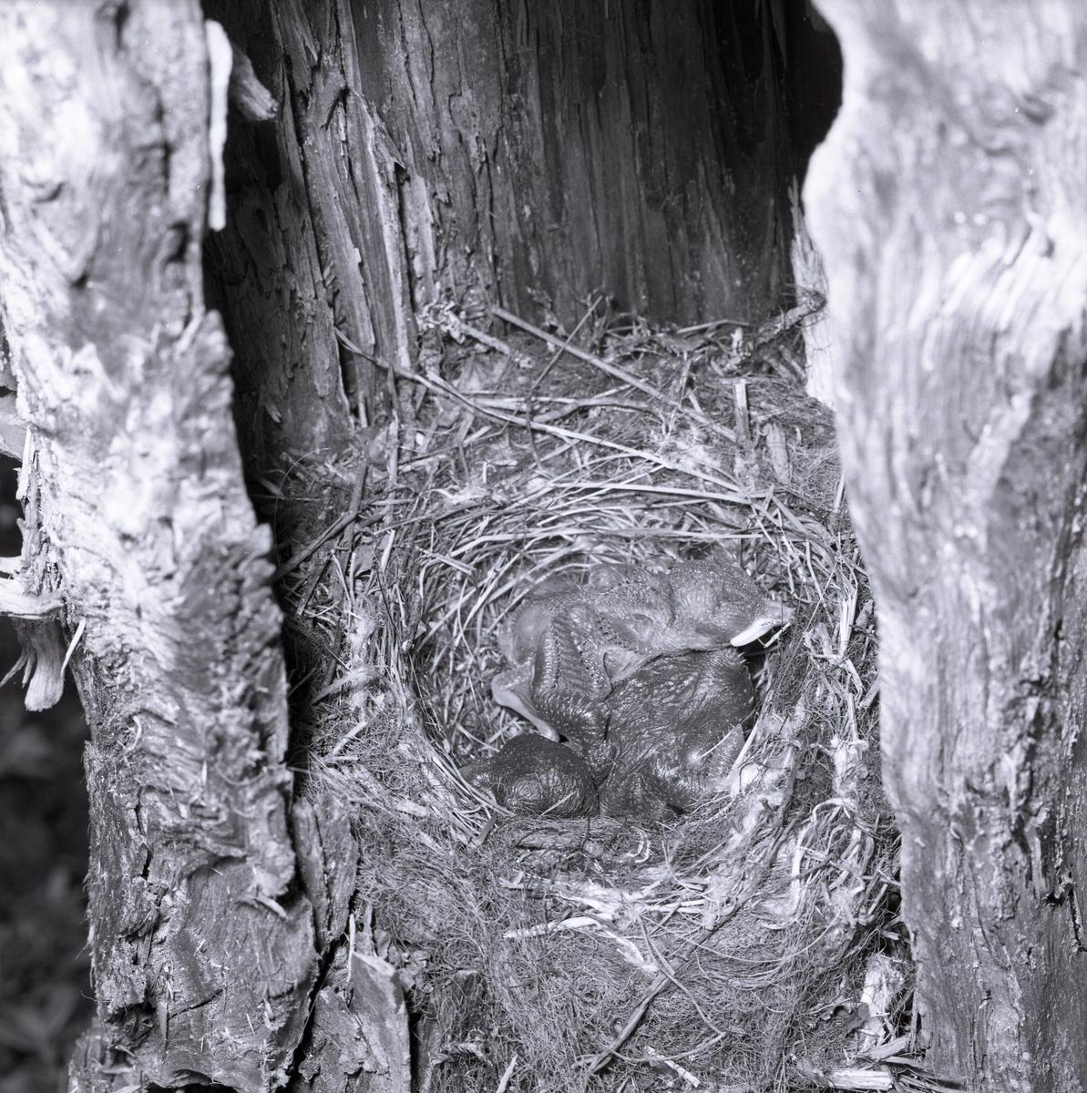 En fågelunge har nydligen kläckts. Dennes liv blir kort eftersom den har oturen att kläckas i samma bo som en gökunge. Knappt har den hunnit kläckas innan den större gökungen försöker knuffa den ur boet. Gökungen använder ryggen för att trycka den andra fågelungen över kanten.