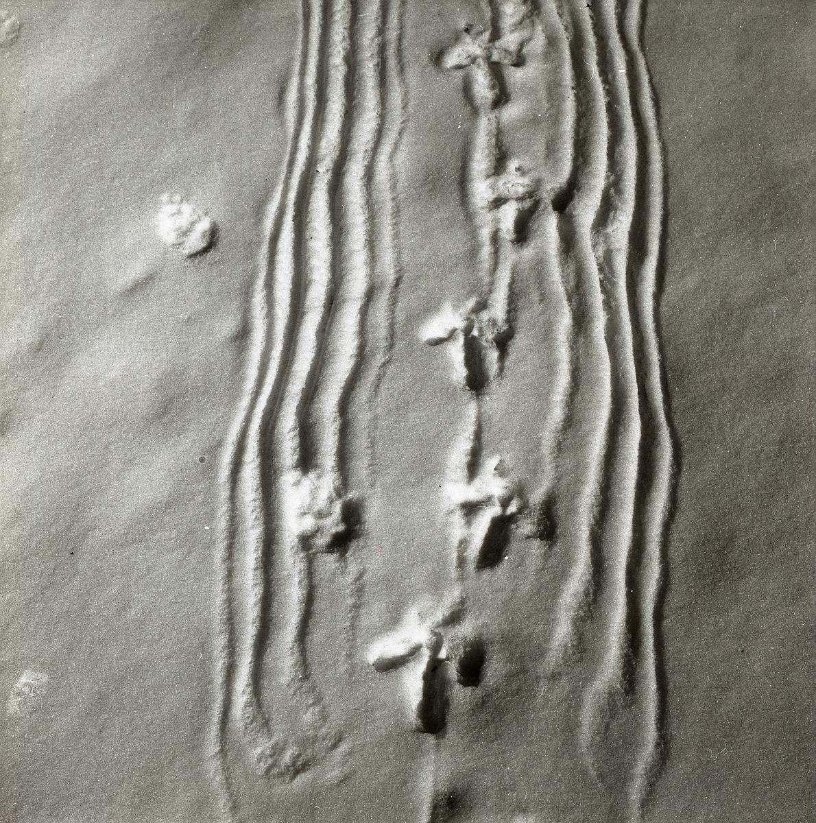 En spelande tjäder har passerat förbi och lämnat spår efter sig i snön. Långa linjer efter de släpande vingspetsarna och treuddiga fotspår efter klorna bevisar fågelns existens.