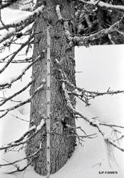 Måling av snødybde under den store hogstundersøkelsen i 1965