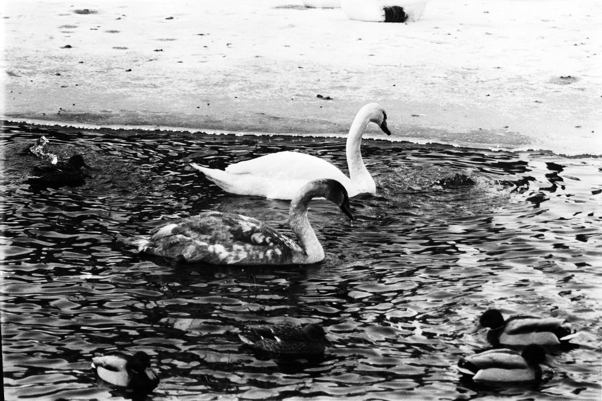 "Svandammen - ""svandonation"", Uppsala 1965"