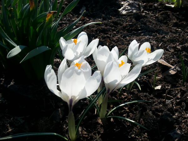 Crocus. Foto/Photo