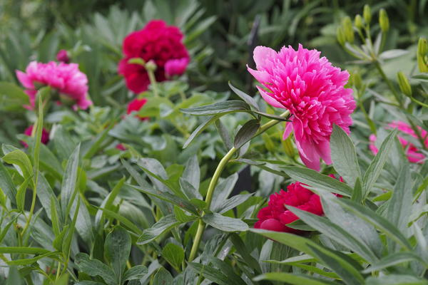 Paeonia x festiva 'Rosea Plena'. Foto/Photo