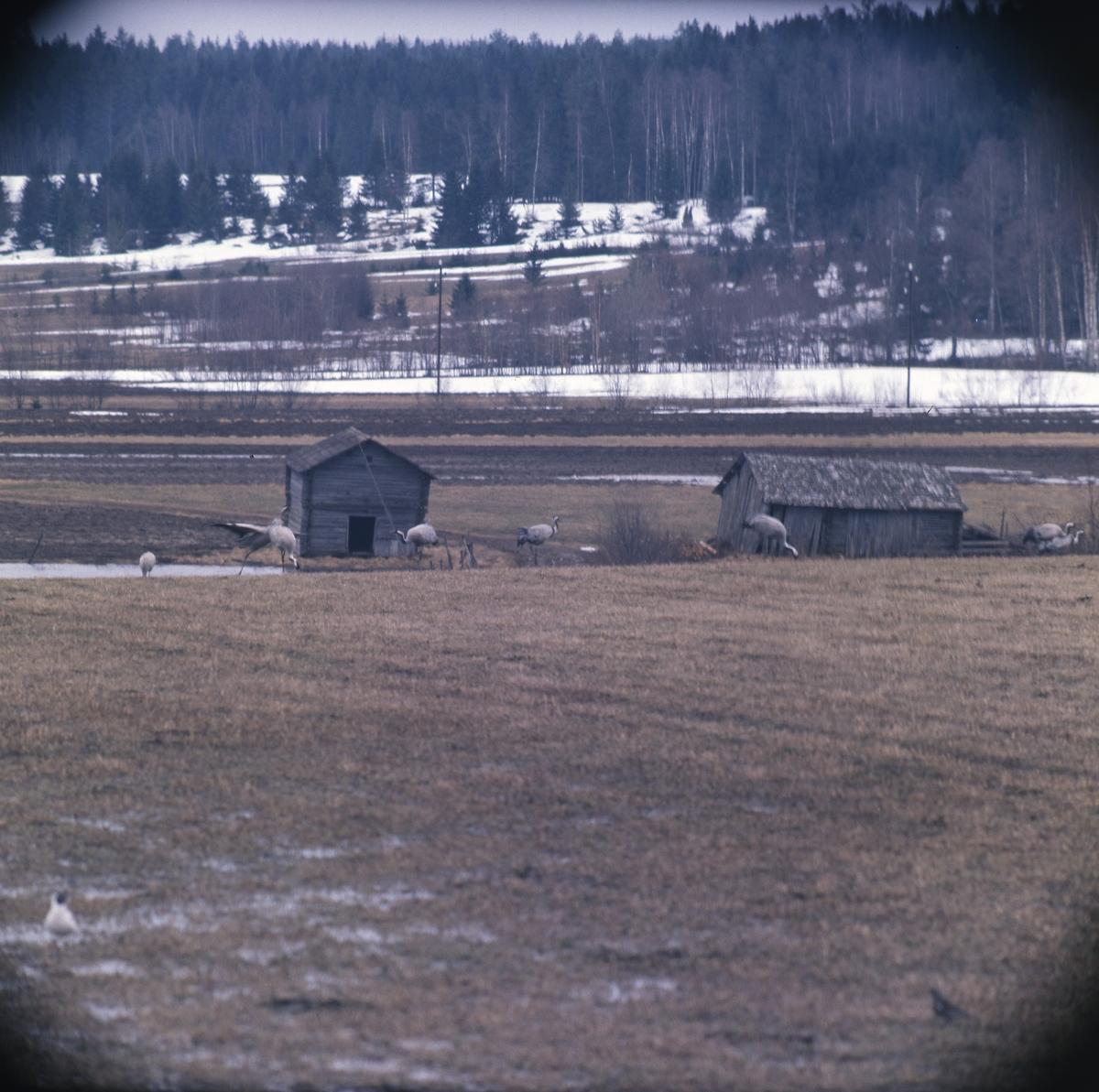 En åker med lador. Där äter några tranor av det bruna fjolårsgräset. Det ligger snö kvar vid skogsbrynet.