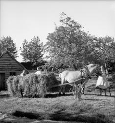 Sommar, høyonn, uteløa, køyring av høy med hest, kvinne i fo