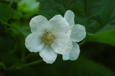 Rubus_parviflora.JPG