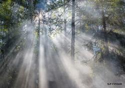 Tåke i blandingsskog av med bjørk, gran og furu som viktigst