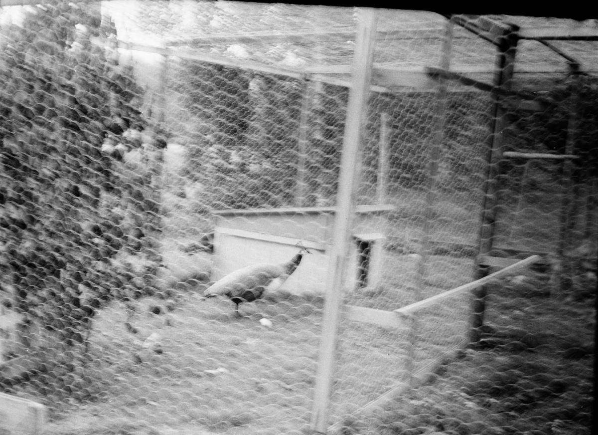 Söräng, Hos Anders Jonsson, fiskare,hönsfarmare,djurvän, 25 juli 1966