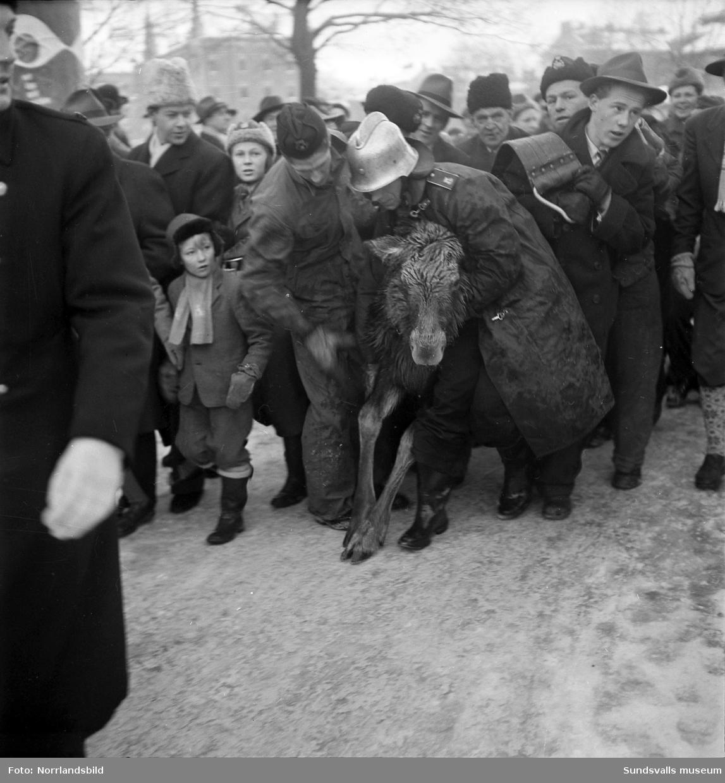 Brandkåren ryckte ut med sin största bil en söndagförmiddag i december 1950 för att rädda en älgkalv som gått igenom Selångersåns is. Puckelbron fylldes snabbt med åskådare som på första parkett kunde följa dramat då en av brandmännen till slut lyckades få en gjord under buken på djuret och med stegen som lyftkran förpassades älgkalven upp på torra land igen. Därefter fick den utmattade kraken torka och vila upp sig i stallet hos Westmans åkeri på Norrmalm där den även tittades till av veterinär.