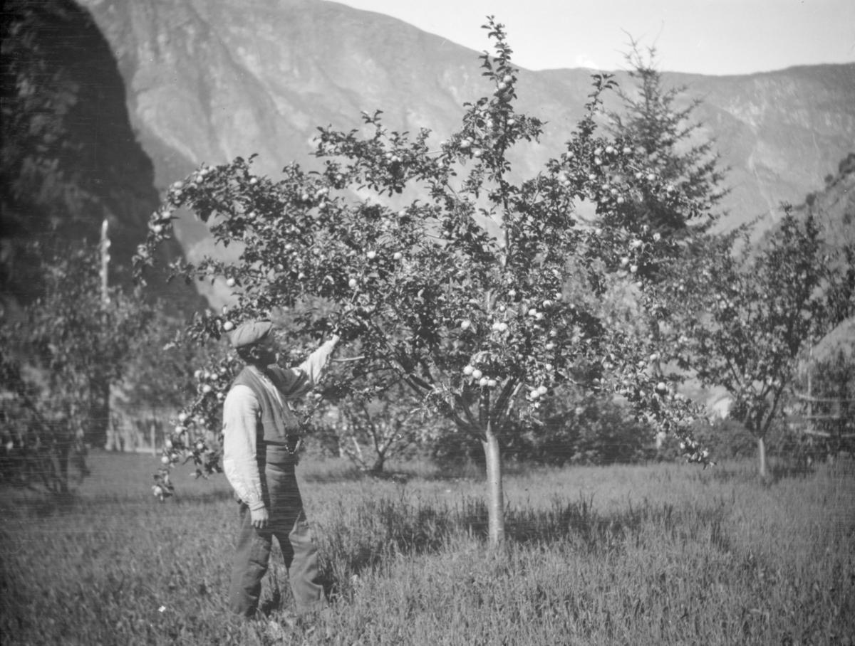 Mann med epletre, høye fjell i bakgrunnen