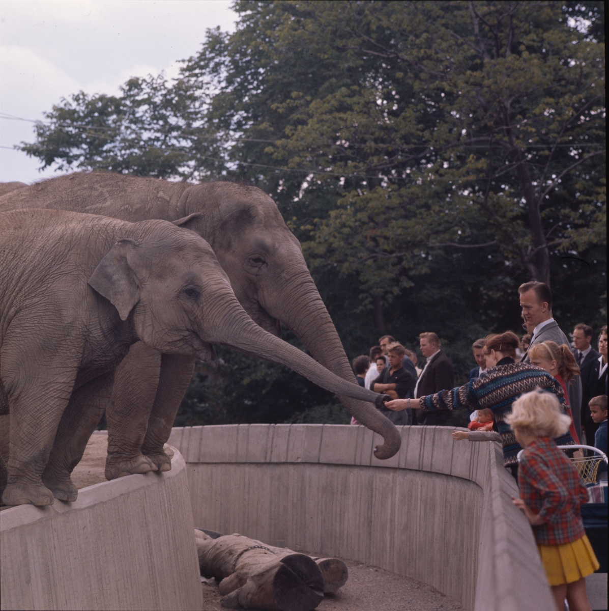 De Asiatiska elefanterna vid elefanthuset på Skansen. Barn och vuxna besökare.
