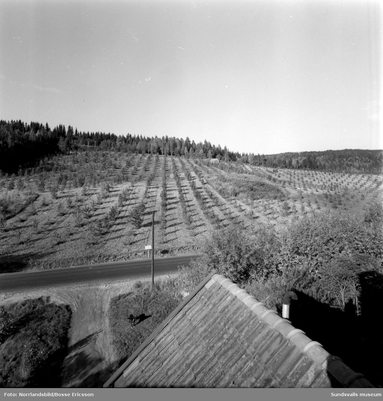 Skogsplantage i Nedansjö.
