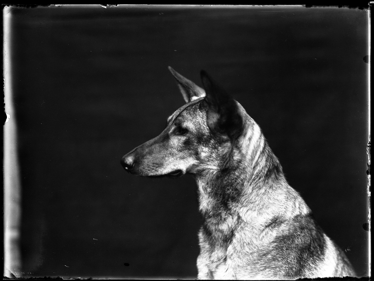 """Porträtt av en schäfer i profil. I fotografens anteckningar står det """"Torsten Hallgrens schäfer"""". Tolkat som Torsten Hallgren (f. 1899-11-11)"""