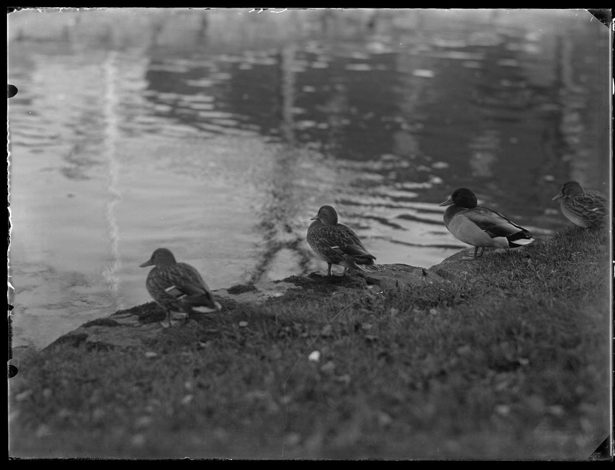 Fyra änder sitter på gräset vid ett vattenbryn.