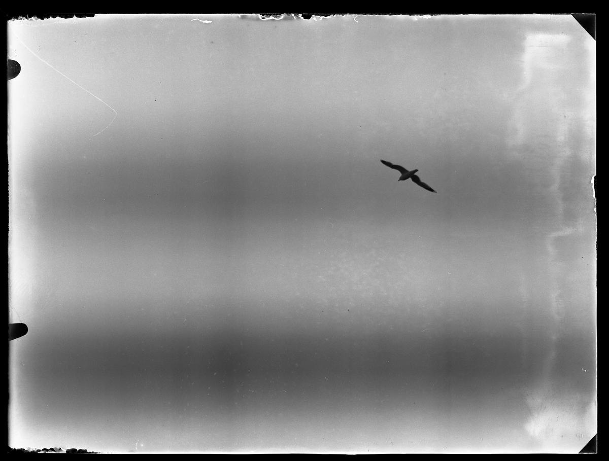 Siluetten av en mås som flyger.
