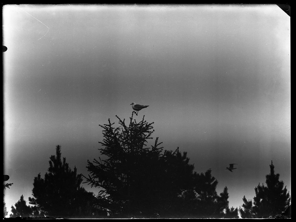 En mås sitter i toppen av en gran. Mellan trädtopparna syns ännu en fågel.