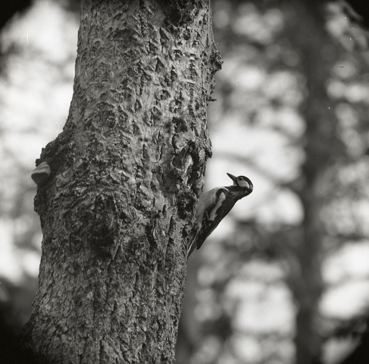 En större hackspett sitter på ett träd den 19 juni 1960.