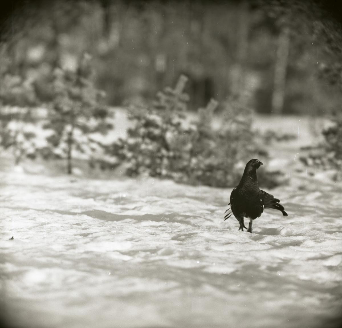 En orre går på snön ute i skogen. Solen står lågt och kastar en lång skugga från fågeln.