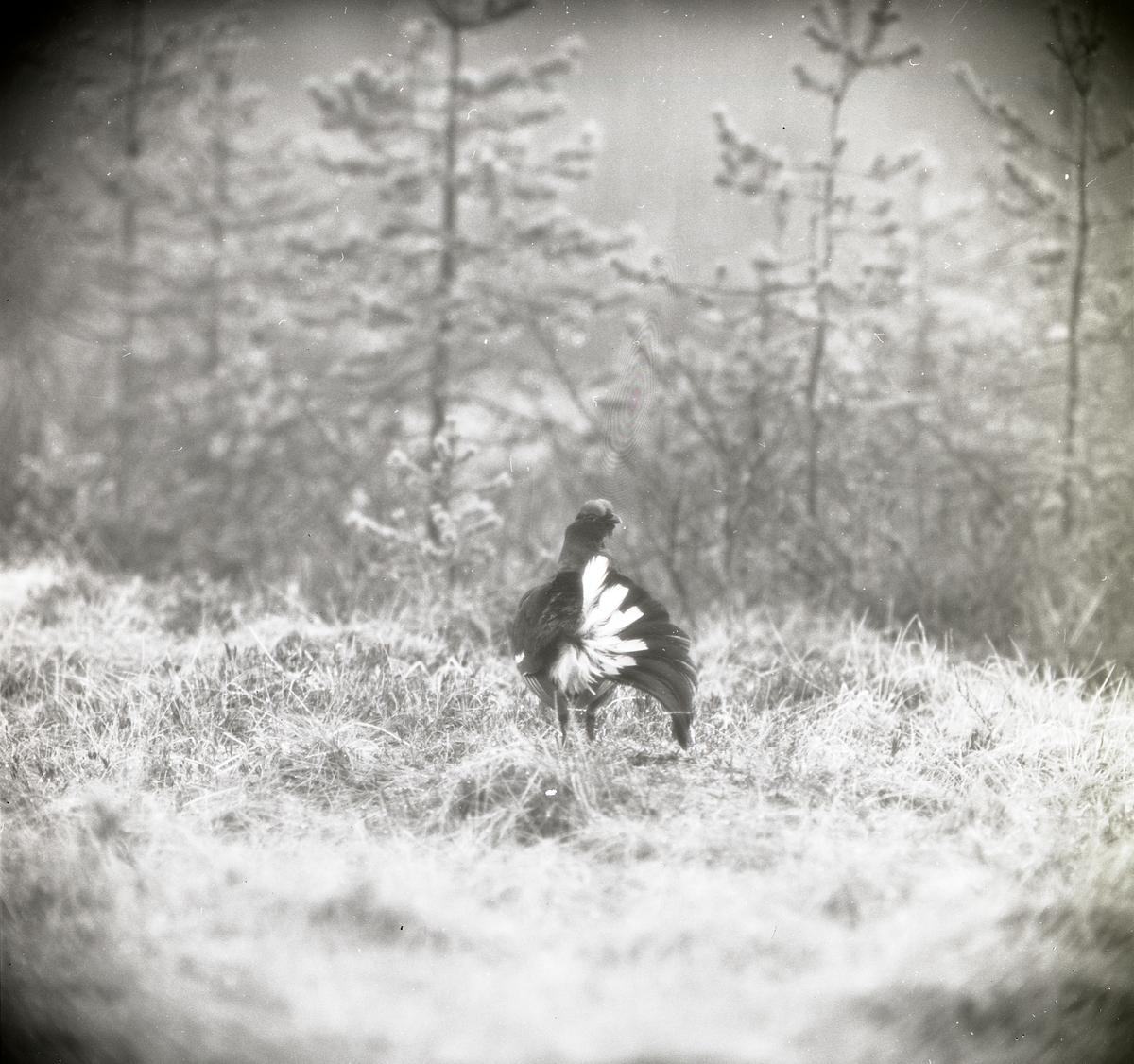 En orre med lite stjärtfjädrar står på gräset vid en tallskog 3 maj 1964 i Degelmyren.