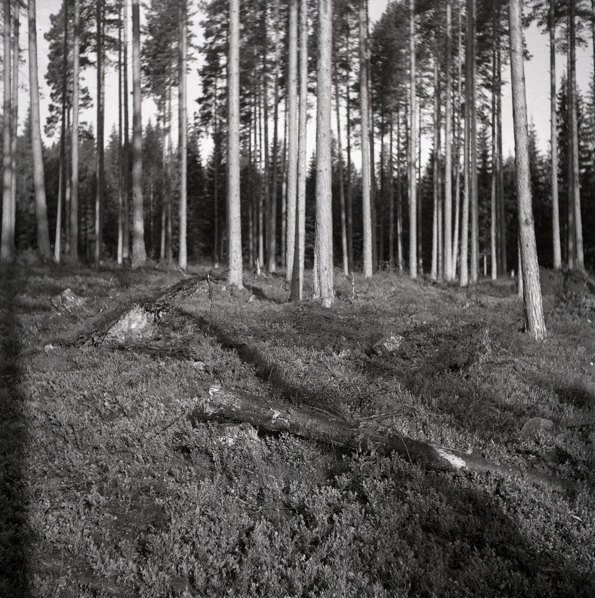 Tjäderbo. Tallskog med sten och grenar, Sunnanhed 29 juni 1954.