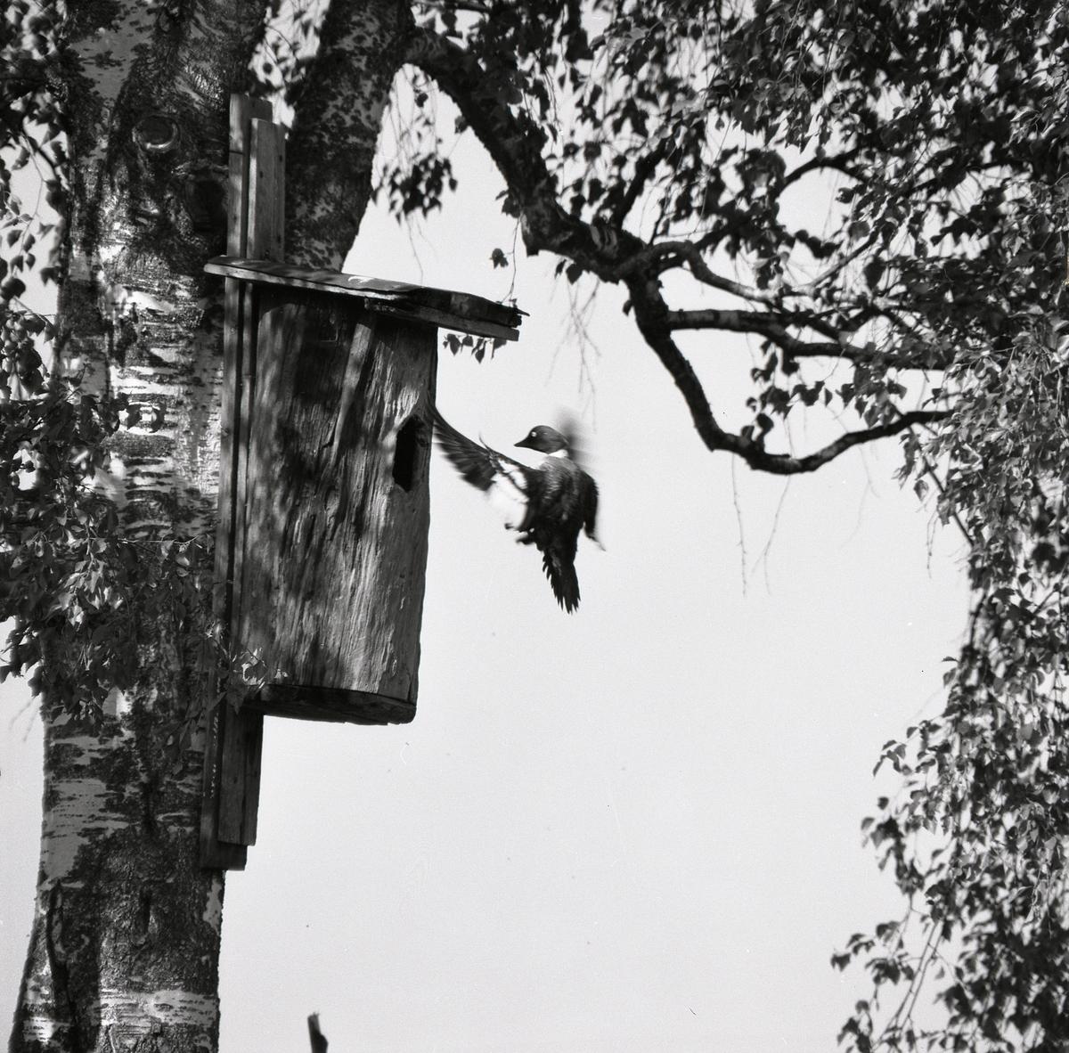 En fågel flyger utanför öppningen till en holk som sitter i en björk 1974.