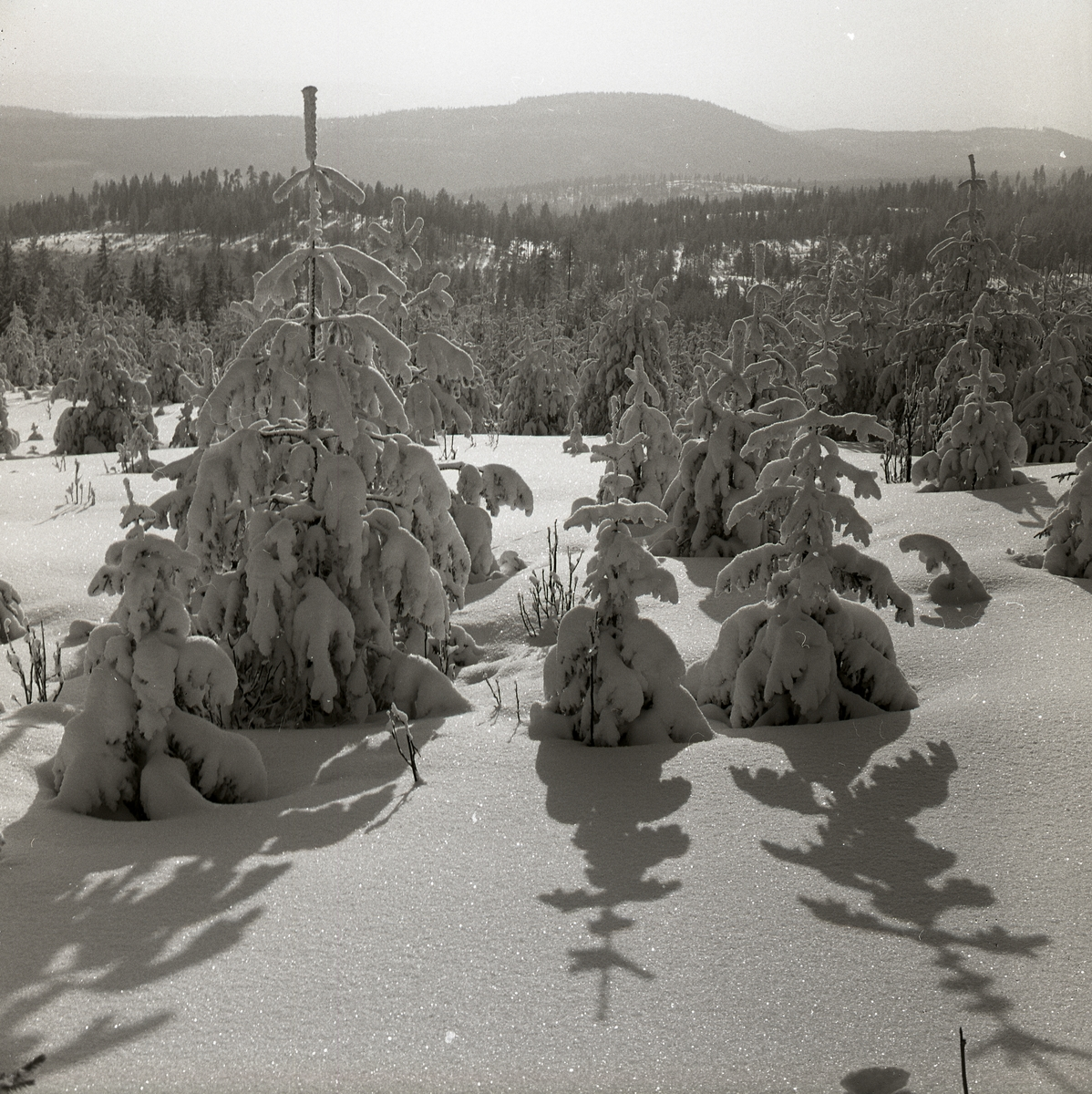 Snötyngda granar kastar skugga på snön, Skogberget 22 februari 1960.