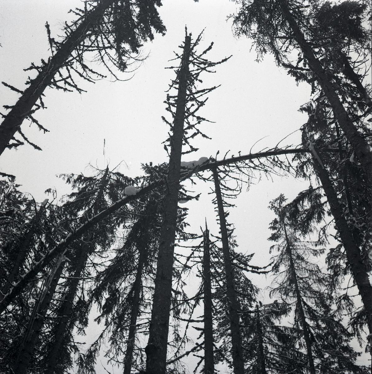 Träd som blivit nedtyngda av snön och brutits av under vintern 1948.