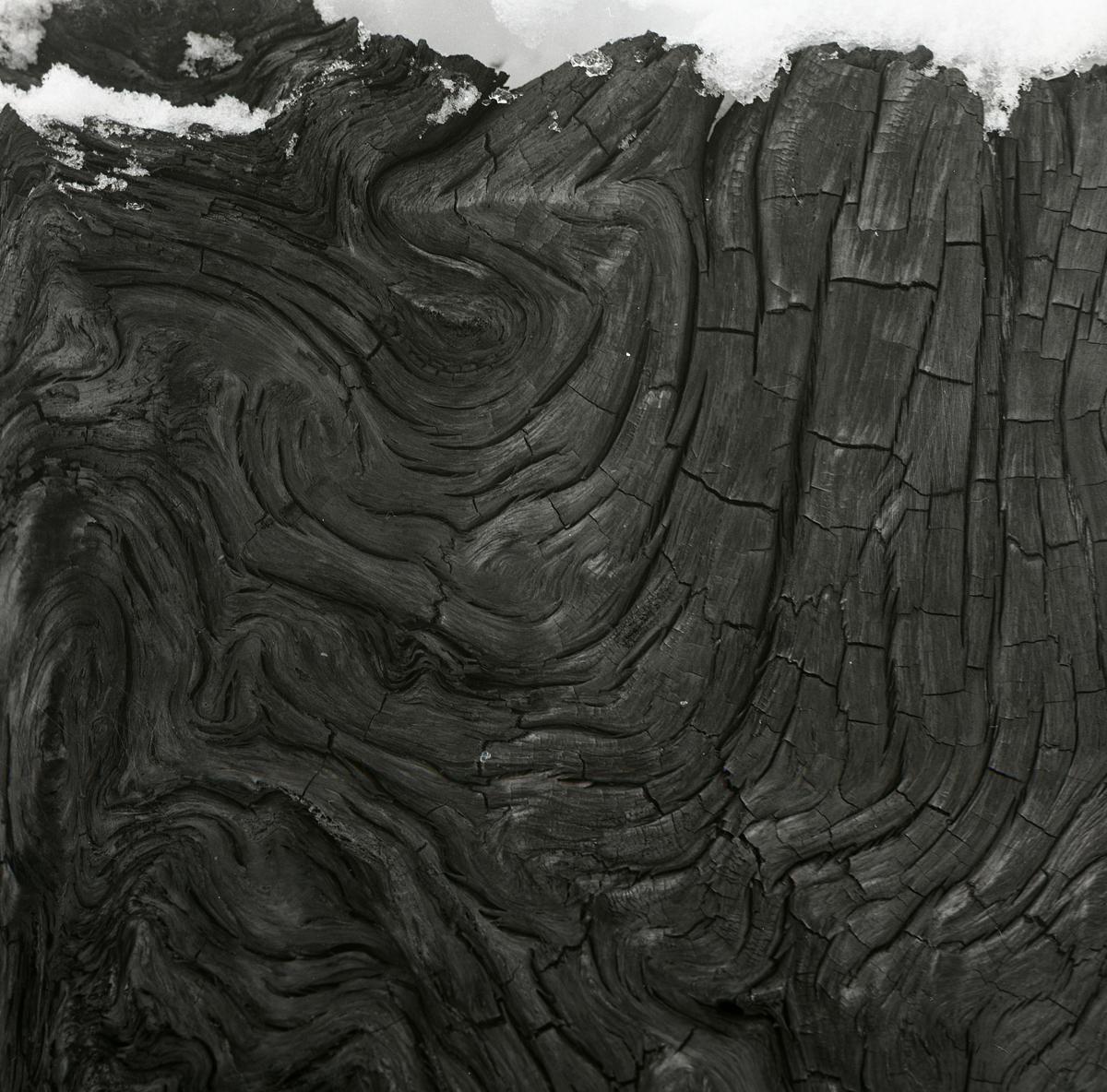 En förkolnad stubbe med böljande mönster efter en hyggesbrand i Transtrand, 1964.