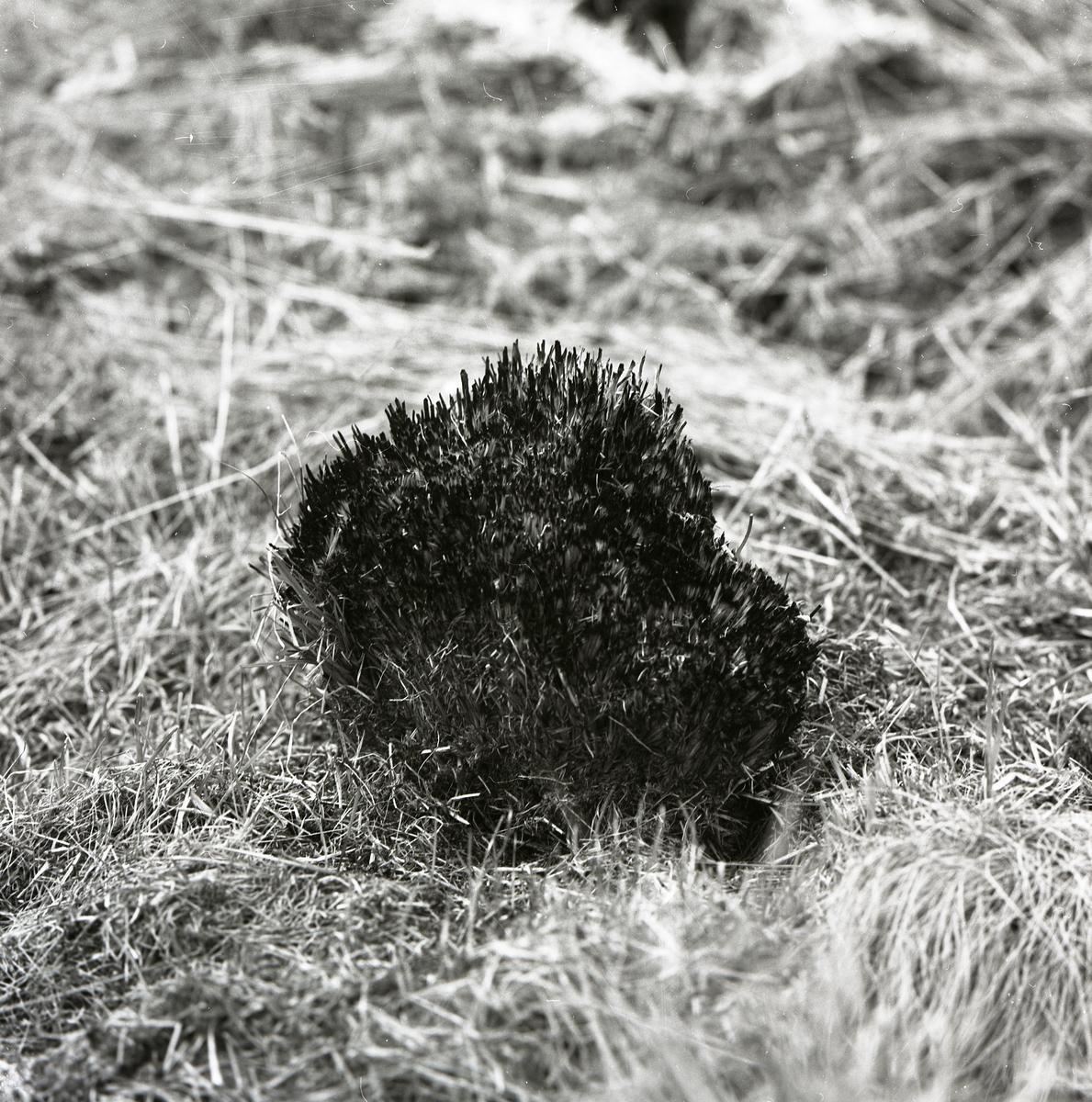 En tuva i gräset vid Keinovuopio, juni 1977.