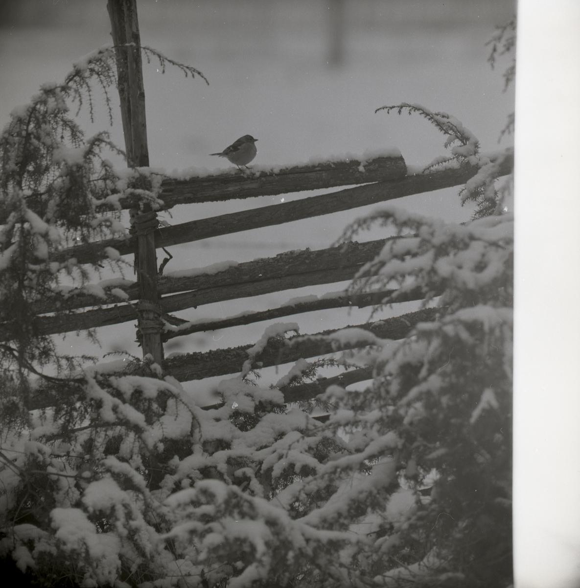 En bofink står på en snötäckt gärdesgård vid enbuske, våren 1969.