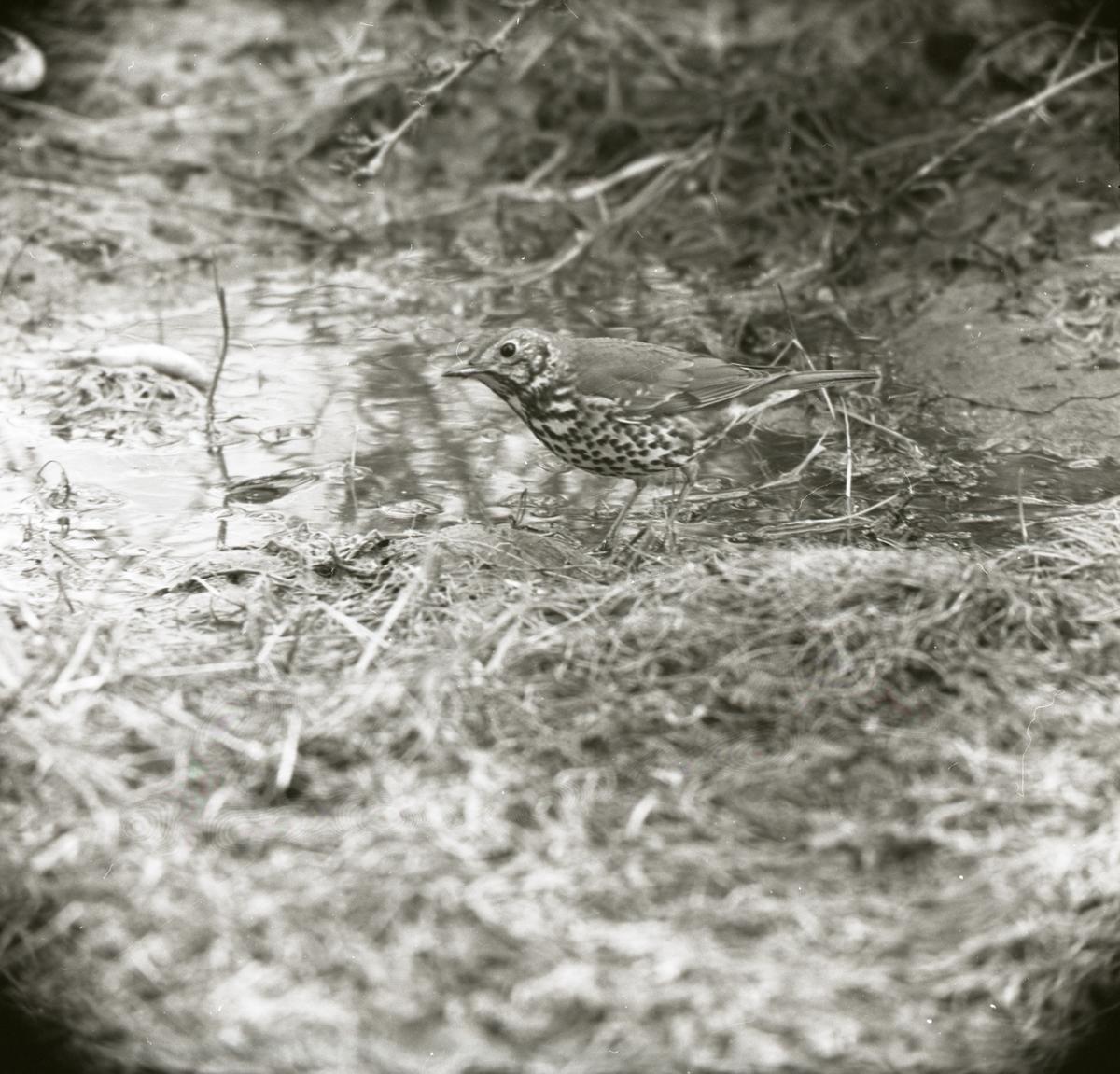 En taltrast står i en liten vattensamling, våren 1967.