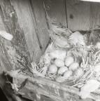 Ett starbo med fågelägg ligger i en fågelholk, våren 1961.