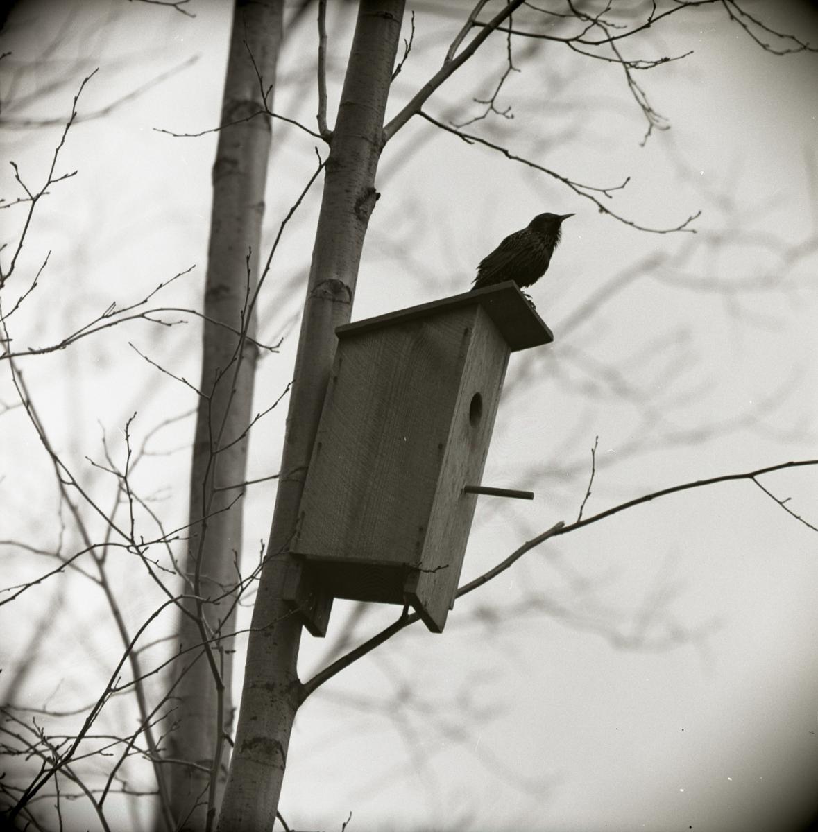 En stare sitter på taket till en fågelholk, april 1965.