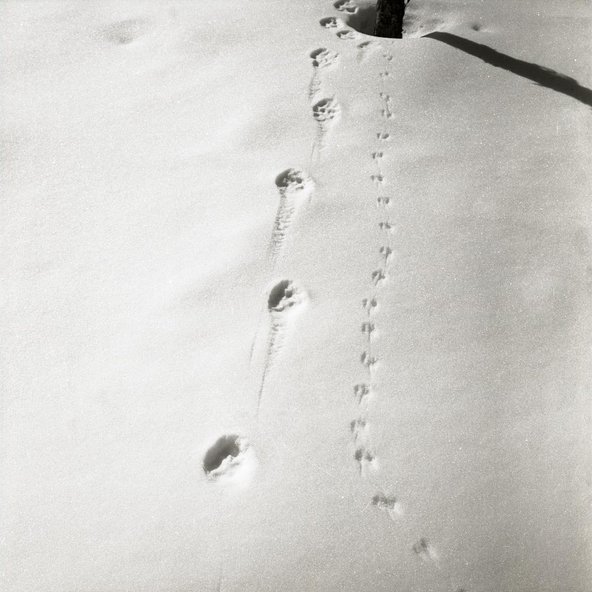 Rävspår jämte musspår i snön, 1966.