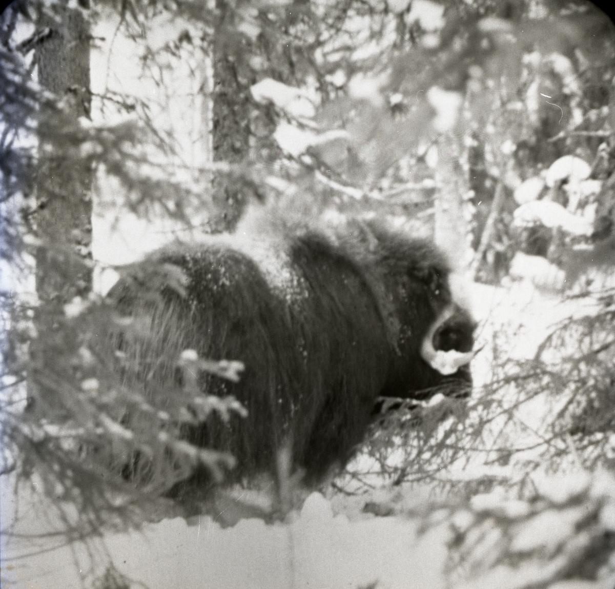 En myskoxe i snöig skog.