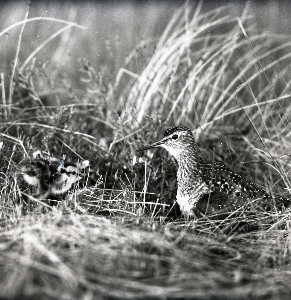 En grönbena med unge i gräset vid Forneby, 18 juni 1956.