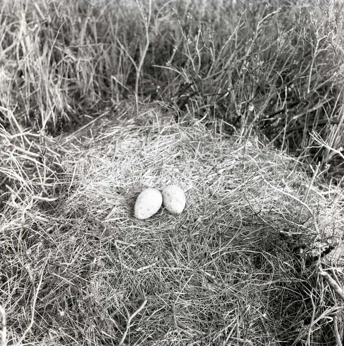 En fågelbo med tranägg omgivet av högt gräs, 3 maj 1953.