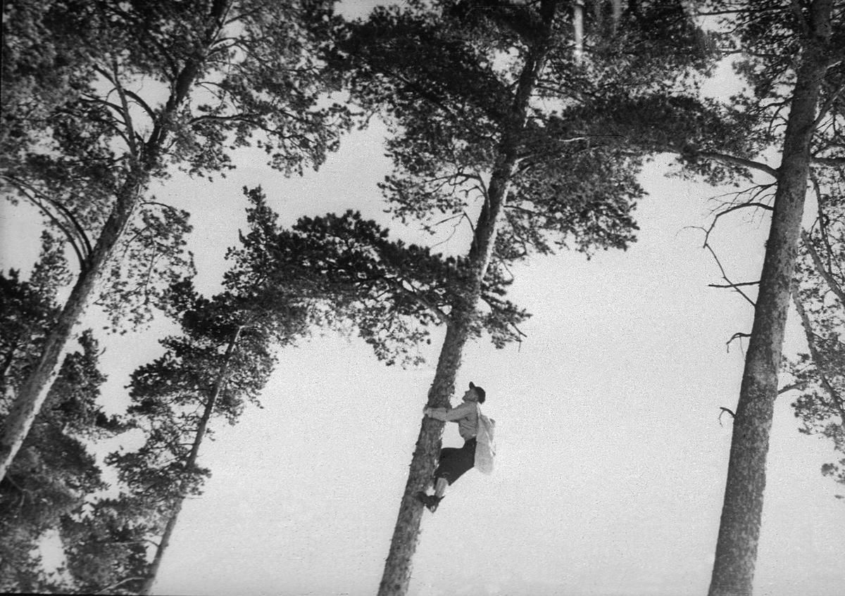 Konglesanking i furutrær (Foto/Photo)