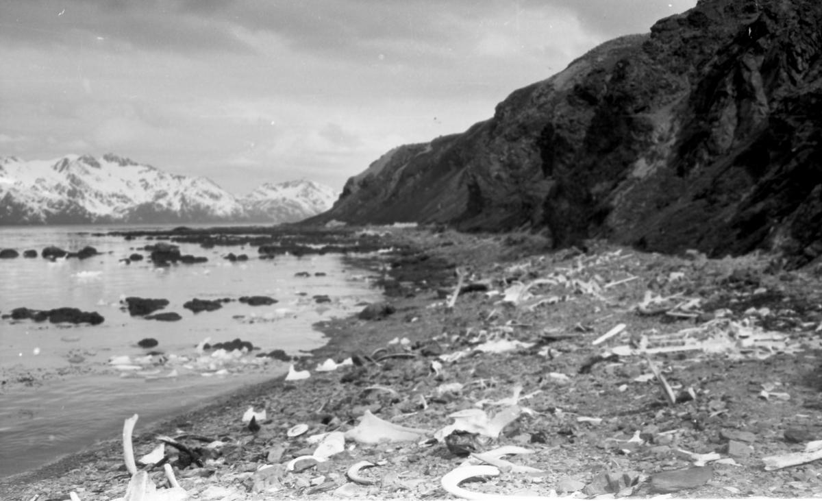 Strand med rester av hval. Fjell i bakgrunnen. Suderøy på vei til fangstfeltet.