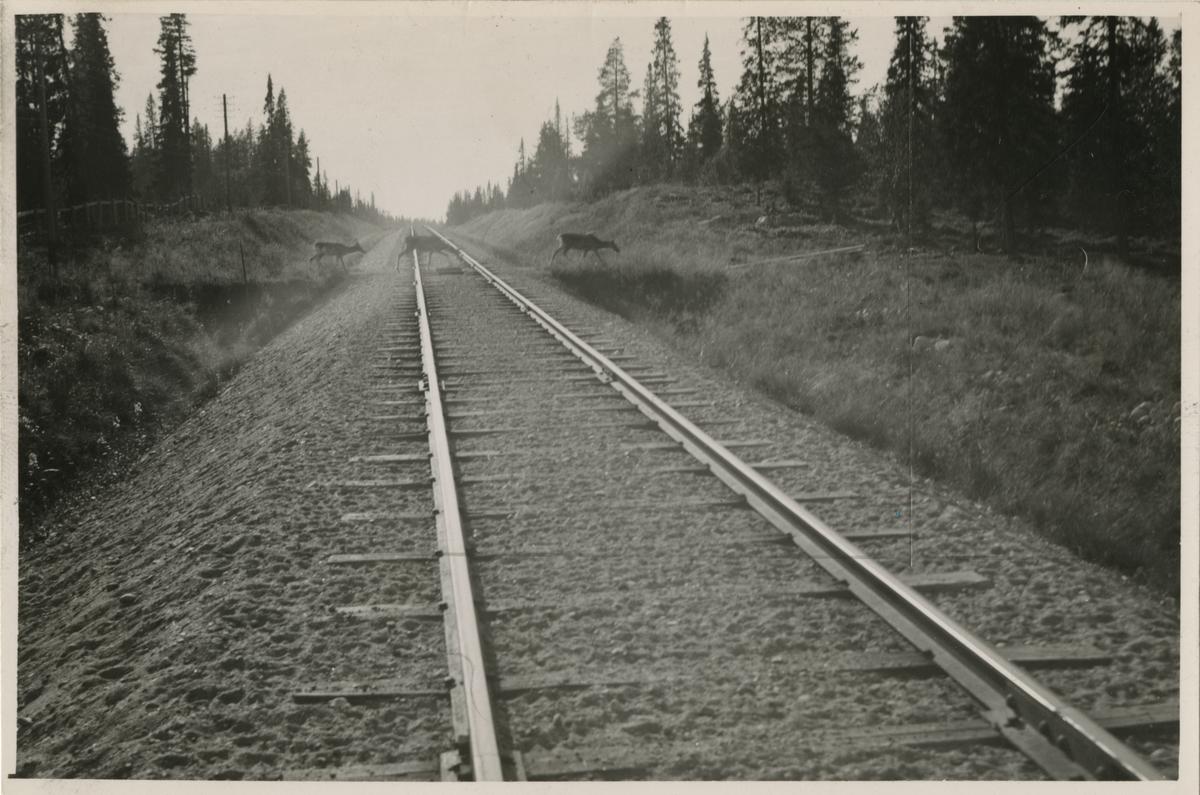 Renar på spåret i norra Sverige.