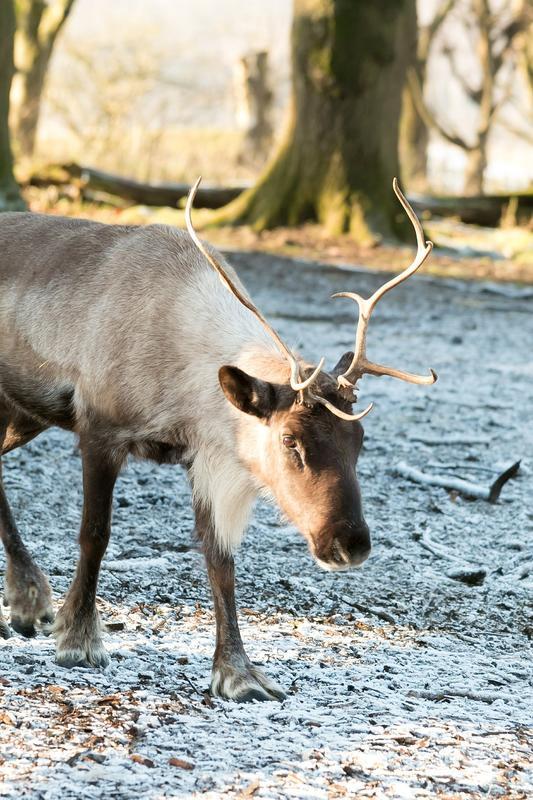 Bilde av et reinsdyr