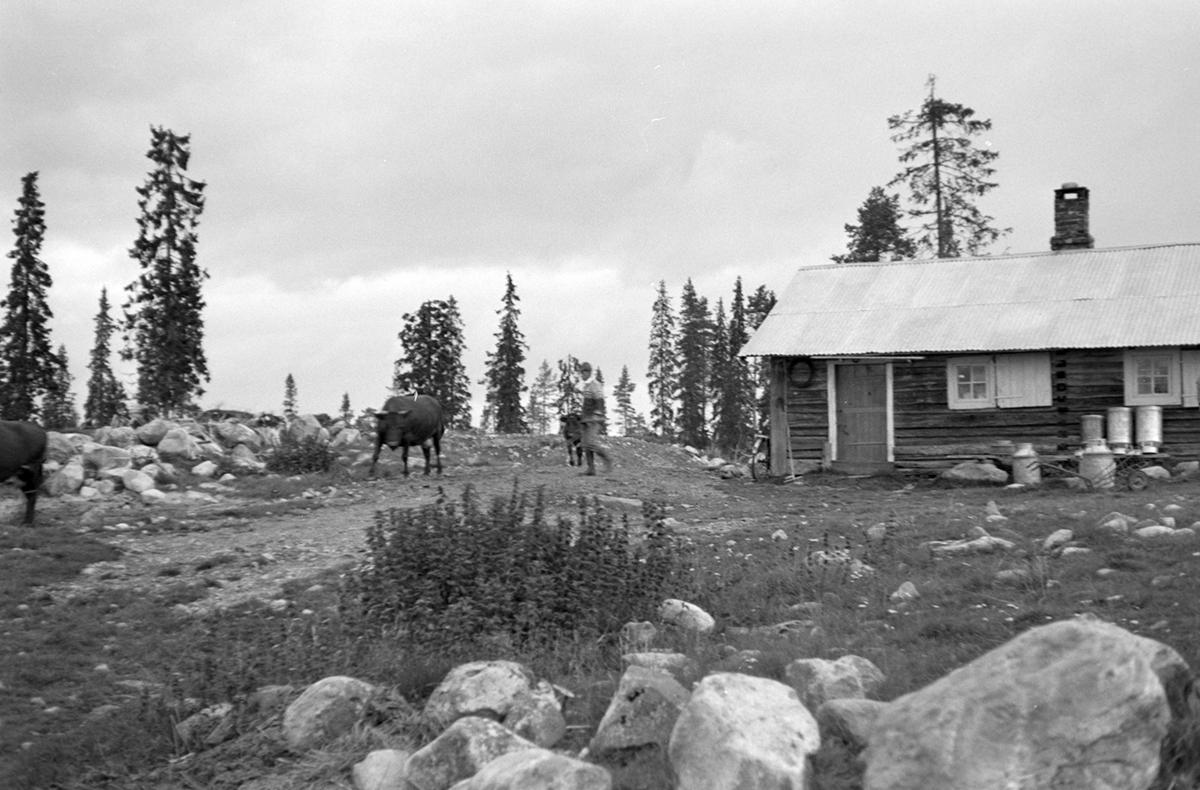 TØRBUSTILEN seter i Vang almenning, Hamar kommune. Ukjent mann med kuer på tunet. Melkespann til høyre.