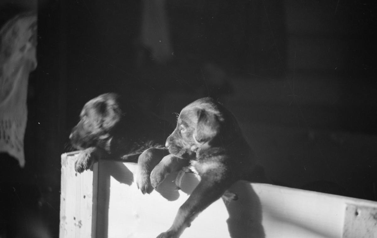 To hundehvalper